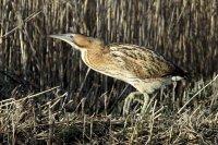 bird bittern in reeds